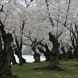 What do 3,000 cherry blossom trees look like?